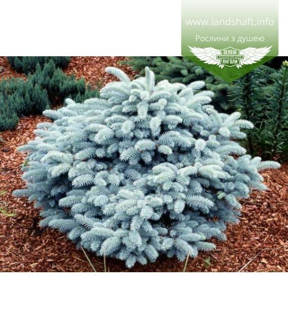 Picea pungens 'Glauca Globosa', Ялина блакитна 'Глаука Глобоза' купити з доставкою по Україні