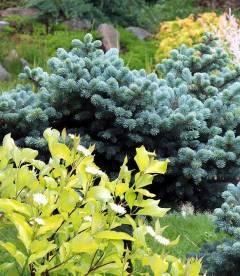 Picea pungens 'Glauca Globosa' Ель колючая Глаука Глобоза - купить с доставкой по Украине