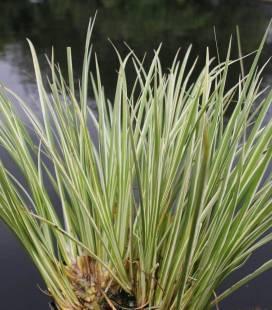 Acorus gramineus 'Argenteostriatus', Аир злаковидный 'Аргентеостриатус'