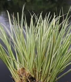 Acorus gramineus 'Argenteostriatus', Аир злаковий 'Аргентеостриатус'