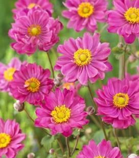Anemone hupehensis 'Margarete', Анемона хубейская 'Маргарет'