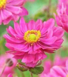 Anemone hupehensis 'Margarete', Анемона хубейська 'Маргарет'