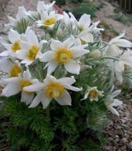 Pulsatilla vulgaris 'White Swan', Сон звичайний 'Вайт Свон'