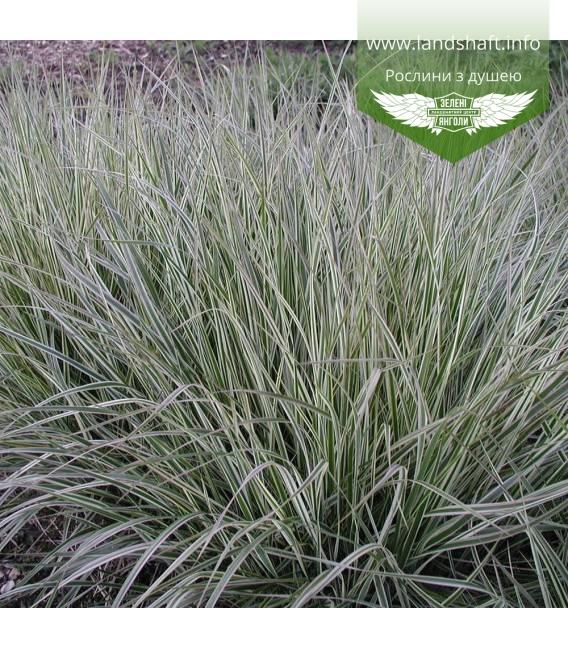 Calamagrostis acutiflora 'Overdam', Війник гостроквітковий 'Овердам'