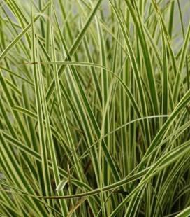 Carex brunnea 'Albolineata', Осока коричневатая 'Альболинеата'