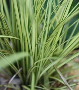 Carex brunnea 'Jenneke', Осока коричневатая 'Дженеке'