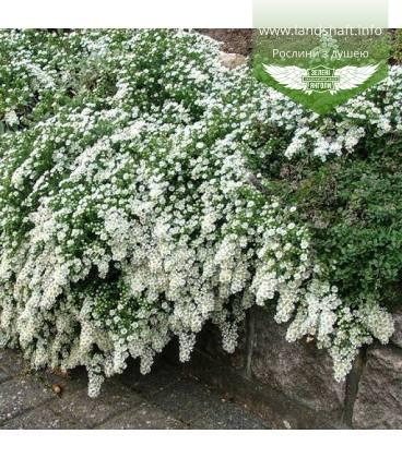 Aster ericoides 'Snow Flurry', Астра вересковая 'Снов Флорри'