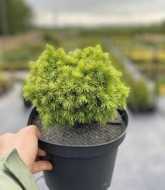 Picea glauca 'Alberta Globe', Ялина канадська 'Альберта Глоуб'