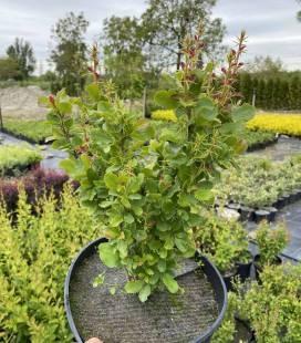 Berberis vulgaris, Барбарис звичайний