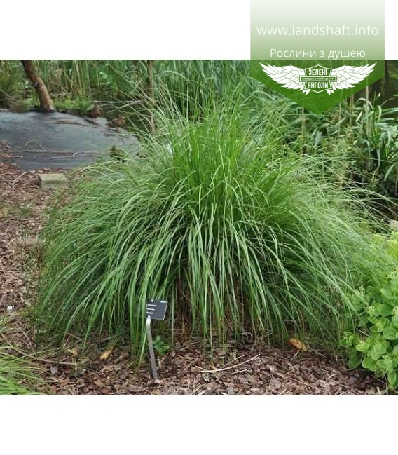 Pennisetum alopecuroides 'Japonicum', Пеннісетум лисохвостий 'Японікум'