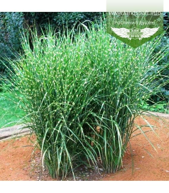 Miscanthus sinensis 'Strictus', Міскантус китайський 'Стріктус'