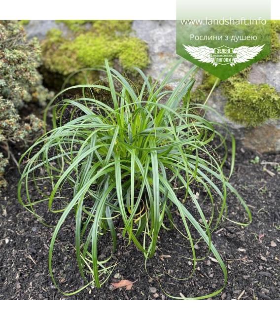 Carex 'Ribbon Falls', Осока 'Ріббон Фолз'