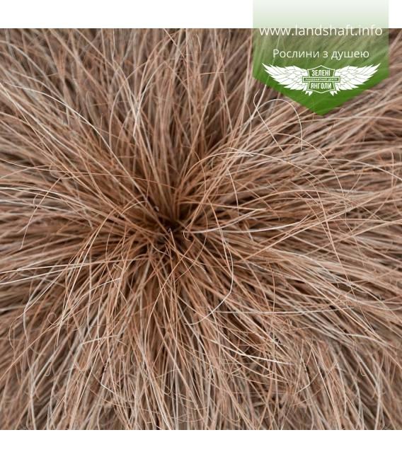 Carex flagellifera 'Bronze Form', Осока джутикова 'Бронз Форм'