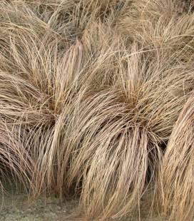 Carex flagellifera 'Bronze Form', Осока власовидная 'Бронз Форм'