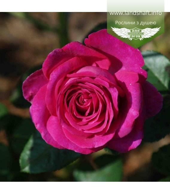 Rosa 'Chartreuse de Parme', Троянда чайно-гібридна 'Шартрез де Парм'