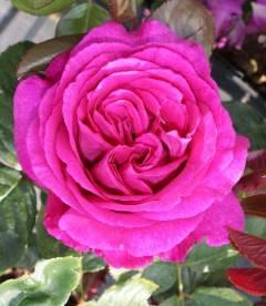 Rosa 'Chartreuse de Parme', Роза чайно-гибридная 'Шартрез де Парм'