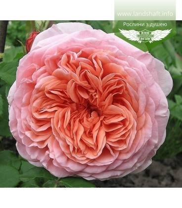 Rosa 'Abraham Darby', Троянда англійська 'Абрахам Дербі'