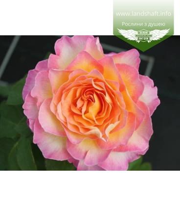 Rosa 'Gorgeous', Троянда чайно-гібридна 'Горджес'
