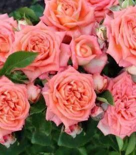 Rosa Island 'Barbados', Роза кустовая 'Барбадос'