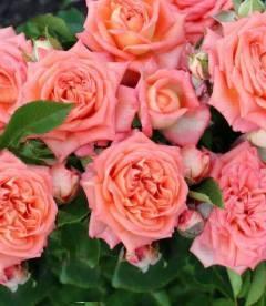 Rosa 'Barbados', Троянда чайно-гібридна 'Барбадос'