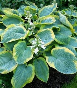 Hosta 'George Smith', Хоста 'Джордж Смит'
