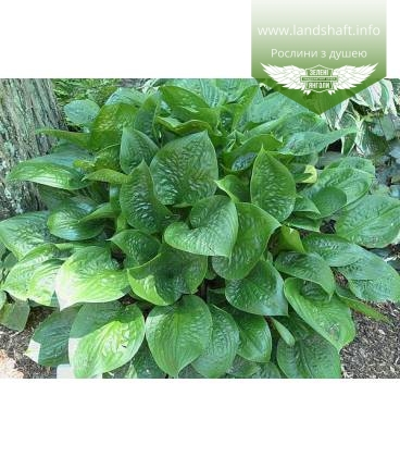 Hosta 'Celtic Uplands', Хоста 'Келтик Аплендз'
