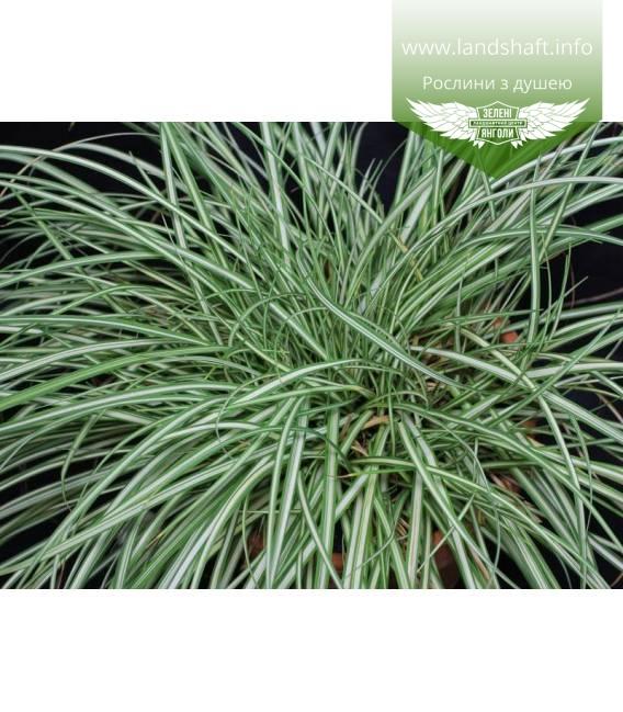 Carex ornithopoda 'Variegata', Осока птахонога 'Варієгата'