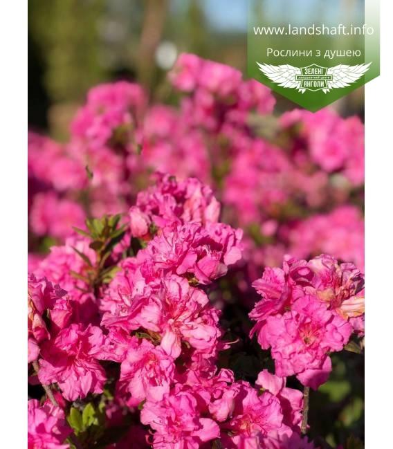 Azalea japonica 'Fridoline' Азалия японская цветения растения