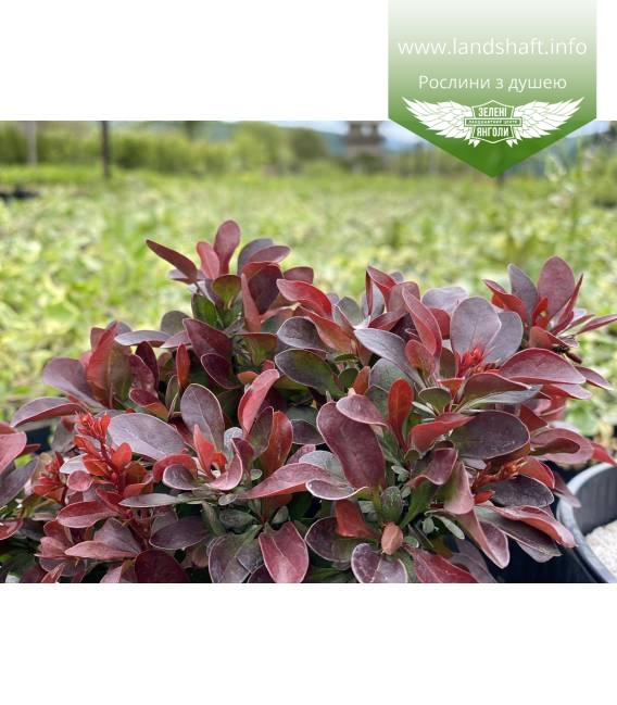 Berberis thunbergii 'Bagatelle', Барбарис Тунберга 'Багател яскраві листя