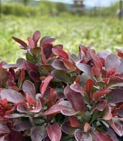 Berberis thunbergii 'Bagatelle' Барбарис Тунберга яркие листья