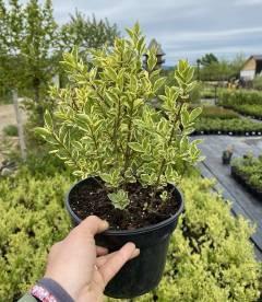 Ligustrum ovalifolium 'Argenteum' Бирючина овальнолистная в горшке C2