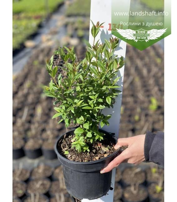 Ligustrum vulgare 'Atrovirens', Бюрючина звичайна 'Атровіренс рослина в горщику C2