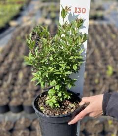Ligustrum vulgare 'Atrovirens', Бирючина обыкновенная 'Атровиренс растения в горшке C2