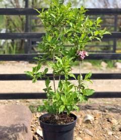 Weigela florida Вейгела цветущая розовая в горшке C2