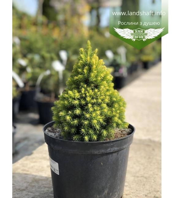 Picea glauca 'Daisy's White', Ялина канадська 'Дейзіс Вайт карликова, конусовидна.