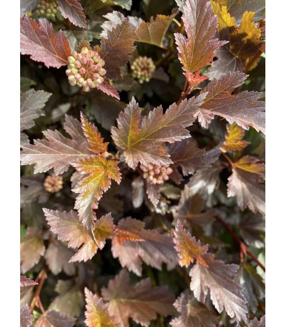 Physocarpus opulifolius 'Summer Wine', Пухироплідник калинолистий 'Самер Вайн' яскраві листя та цвіт.