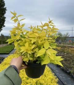 Spiraea japonica 'Goldmound', Спірея японська 'Голдмаунд' для живоплоту.