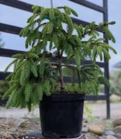 Picea abies 'Acrocona', Ель обыкновенная 'Акрокона' в горшке С5