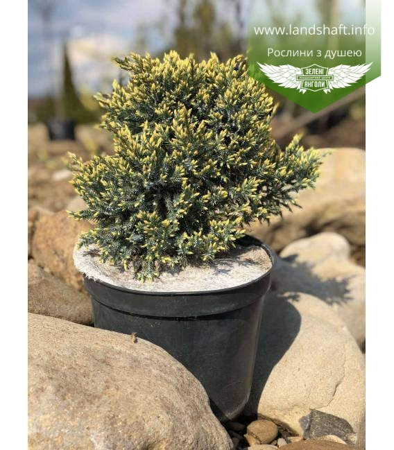 Juniperus squamata 'Dream Joy' Можжевельник чешуйчатый 'Дрим Джой' в горшке C5