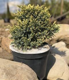 Juniperus squamata 'Dream Joy', Ялівець лускатий 'Дрім Джой' в горщику C5