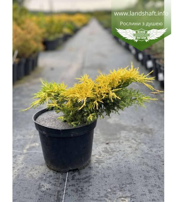 Juniperus x media 'Saybrook Gold', Ялівець середній 'Сейбрук Голд' в горщику C2