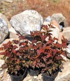 Physocarpus opulifolius 'Schuch', Пухироплідник калинолистий 'Шух'