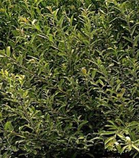 Salix gracilistyla 'Mount Aso', Верба тонкостовпчикова 'Маунт Ашо'