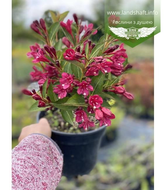 Weigela x hybrida 'Eva Rathke', Вейгела гибридная 'Ева Ратке' растение в горшке C2