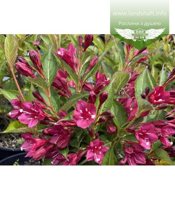 Weigela x hybrida 'Eva Rathke', Вейгела гибридная 'Ева Ратке' цветы растения