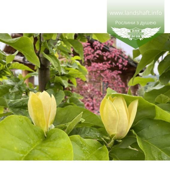 Magnolia x brooklynensis 'Yellow bird' Магнолия цветения растения