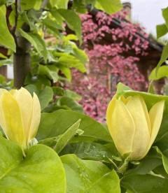 Magnolia brooklynensis 'Yellow Bird', Магнолія бруклинська 'Єллоу Бьорд' цвітіння навесні.