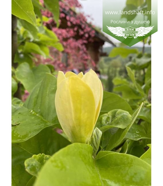 Magnolia x brooklynensis 'Yellow bird' Магнолия яркие цветы