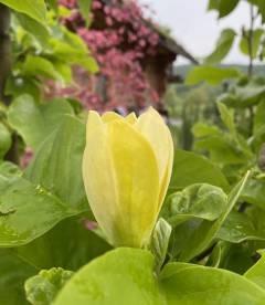 Magnolia brooklynensis 'Yellow Bird', Магнолія бруклинська 'Єллоу Бьорд' яскраві квіти