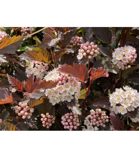 Physocarpus opulifolius 'Summer Wine' Пузыреплодник калинолистный 'Самэр Вайн' растение Весной
